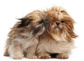 Two Shih-tzus with windblown hair in front of white background — Stock Photo