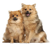 Two Spitz dogs, 1 year old, sitting in front of white background — Stock fotografie