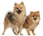 Two Spitz dogs, 1 year old, standing in front of white background — Stock Photo