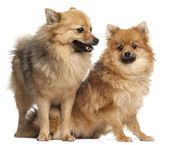 Two Spitz dogs, 1 year old, in front of white background — Stock Photo