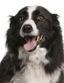 Close-up of Border Collie panting, 5 years old, in front of white background — Stock Photo