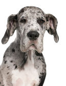 Great Dane puppy, 3 months old, sitting in front of white background — Stock Photo