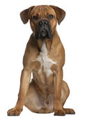 Cane Corso, 9 months old, sitting in front of white background — Stock Photo