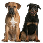 Cane Corso, 9 months old, and a Rottweiler sitting in front of white background — Stock Photo