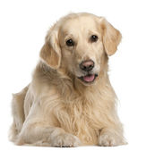 Golden Retriever, 7 years old, sitting in front of white background — Stok fotoğraf