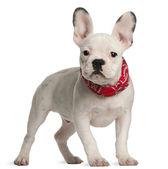 французский бульдог щенок, 4 месяца, стоя перед белый фон — Стоковое фото