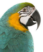 Close-up of Blue and Yellow Macaw, Ara Ararauna, in front of white background — Stock Photo