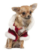 Chihuahua, 9 months old, in Santa coat, sitting in front of white background — Stock Photo