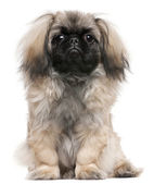 Pekingese puppy, 6 months old, sitting in front of white background — Stock Photo
