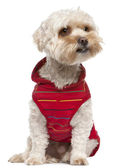 Mixed breed dog with a Yorkshire Terrier wearing red vest outfit sitting in front of white background — Stock Photo