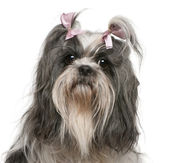 Shih Tzu with pink bows in hair, 4 years old, in front of white background — Stock Photo