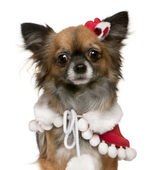 Chihuahua dressed in Santa outfit, 2 years old, in front of white background — Stock Photo