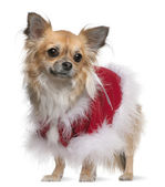 Chihuahua (17 months old) — Stock Photo