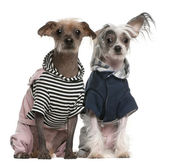 Peruvian Hairless dogs dressed up sitting in front of white background — Stock Photo