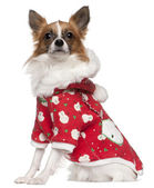 Chihuahua wearing winter outfit, 2 years old, sitting in front of white background — Stock Photo