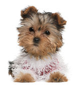 Yorkshire Terrier puppy dressed up, 3 months old, lying in front of white background — Stock Photo
