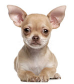 Chihuahua puppy, 2 months old, lying in front of white background — Stok fotoğraf