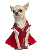 Chihuahua dressed in red dress and necklace sitting in front of white background — Stock Photo