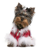 Yorkshire Terrier puppy dressed up, 4 months old, sitting in front of white background — Stock Photo