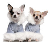 Chihuahua puppies dressed in blue winter outfits sitting in front of white background — Stock Photo