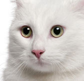 Close-up of Mixed-breed cat, 1 year old, in front of white background — Stock Photo