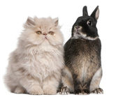 Young Persian cat and rabbit sitting in front of white backgroun — Stockfoto