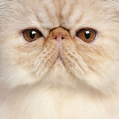 Close-up of Persian kitten, 3 and a half years old — Foto Stock