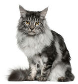Maine Coon cat, 7 months old, sitting in front of white background — Stock Photo