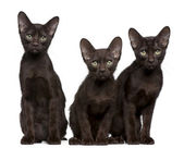 Havana Brown kittens, 15 weeks old, sitting in front of white background — ストック写真