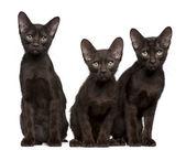 Havanna brun kattungar, 15 veckor gammal, sitter framför vit bakgrund — Stockfoto