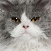 Close-up of Selkirk Rex kitten, 5 months old — Stock Photo
