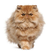 Persian kitten, 4 months old, walking in front of white background — Stock Photo
