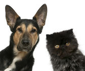 Persian kitten and a Mixed-breed dog in front of white backgroun — Stock Photo
