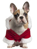 French bulldog in Santa outfit, 7 months old, sitting in front of white background — Stock Photo