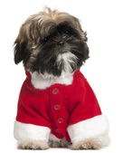 Shi Tzu puppy in Santa outfit, 3 months old, sitting in front of white background — Stock Photo