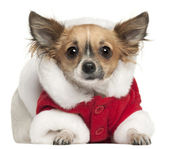 Chihuahua in Santa outfit, 1 year old, lying in front of white background — Stock fotografie