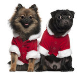 Pug puppy, 6 months old, and Spitz, 7 months old, wearing Santa outfits in front of white background — Stock Photo