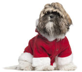 Shih Tzu puppy in Santa outfit, 4 months old, sitting in front of white background — Stock Photo