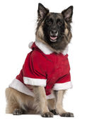 Belgian Shepherd dog or Tervuren wearing Santa outfit, 11 years old, sitting in front of white background — Stock Photo
