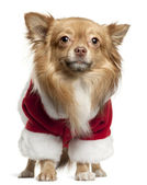 Chihuahua wearing Santa outfit, 1 year old, standing in front of white background — Stock Photo