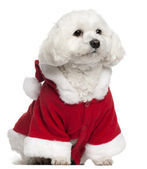 Maltese wearing Santa outfit, 5 years old, sitting in front of white background — Stock Photo