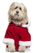 Tibetan Terrier wearing Santa outfit, 9 years old, sitting in front of white background — Zdjęcie stockowe