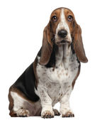 Bassett Hound, 6 years old, sitting in front of white background — Stock Photo