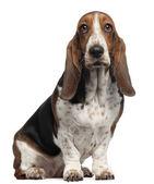 Bassett pes, 6 let, sedí před bílým pozadím — Stock fotografie