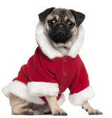 Pug puppy wearing Santa outfit, 6 months old, sitting in front of white background — Stock Photo