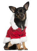 Chihuahua wearing Santa outfit, 10 months old, sitting in front of white background — Stock Photo