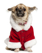 Chihuahua wearing Santa outfit, 5 years old, sitting in front of white background — Stock Photo