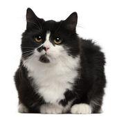 Grijze en witte kat, 5 maanden oud, zitten in de voorkant van witte achtergrond — Stockfoto