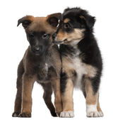 Berger Malinois and Mixed-breed puppy, 7 weeks old, standing in front of white background — Stock Photo