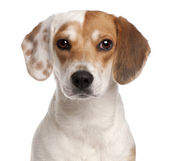 Close-up of Beagle, 1 year old, in front of white background — Stock Photo